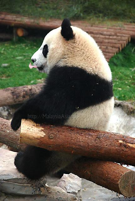 Shanghai Zoo Panda Bear