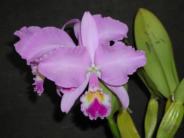 Растения из Тюмени. Краткий обзор - Страница 3 Cattleya%252520warneri1
