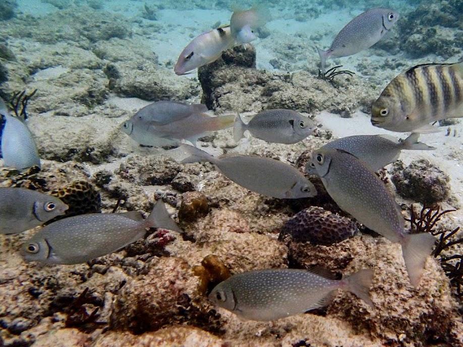 Scarus canaliculatus (White-spotted Rabbitfis), Miniloc Island Resort reef, Palawan, Philippines.