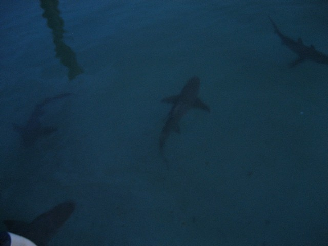 sharks feeding at Rum Cay's marina