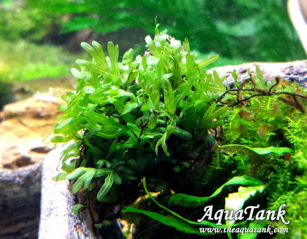 Cây thủy sinh dương xỉ Bàn Tay