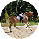 Dressage haflinger Art