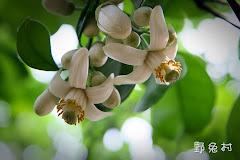 [台南-花卉] 麻豆柚子花