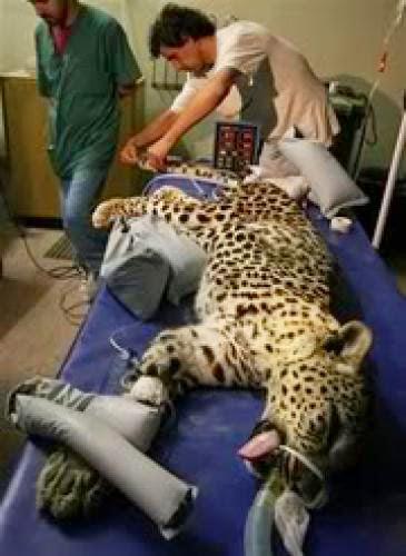 Spotted Leopard From Olam Ha Nekudim