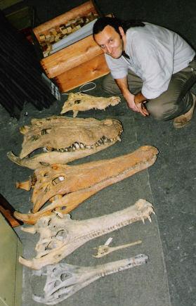 Questões e Fatos sobre Crocodilianos gigantes: Transferência de debate da comunidade Conflitos Selvagens.  - Página 2 Tomistoma%2520compara%25C3%25A7%25C3%25A3o