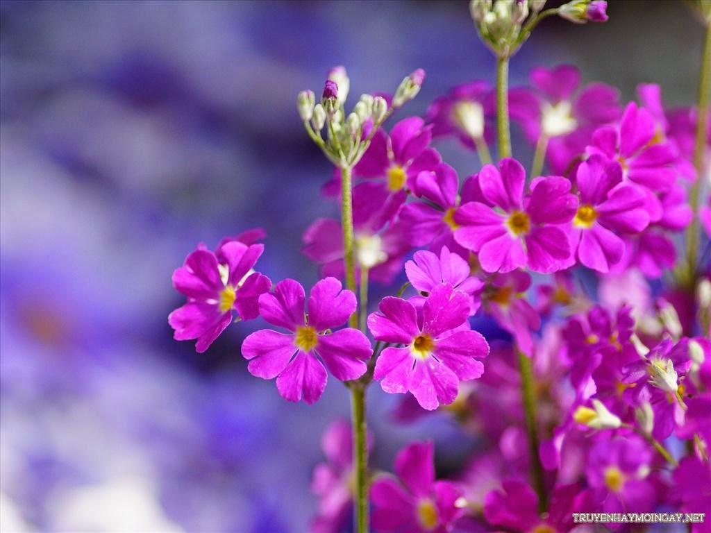 Tuyển Tập Những Hình Nền Hoa Báo Xuân Tuyệt Đẹp