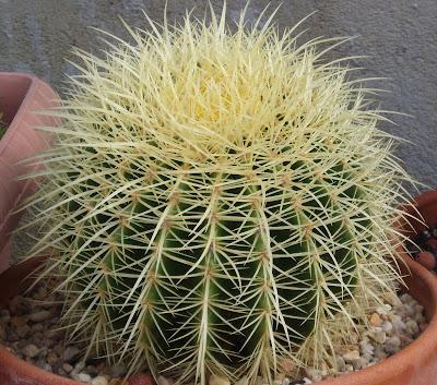Echinocactus grusonii brevispina Echinocactus%252520grusonii%2525202