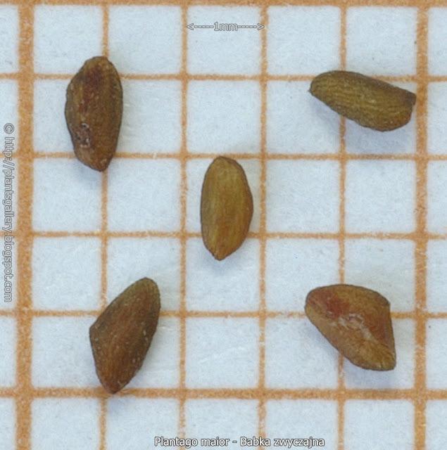 Plantago maior    seeds  - Babka zwyczajna nasiona