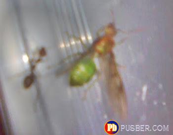 calon ratu semut rangrang dewasa
