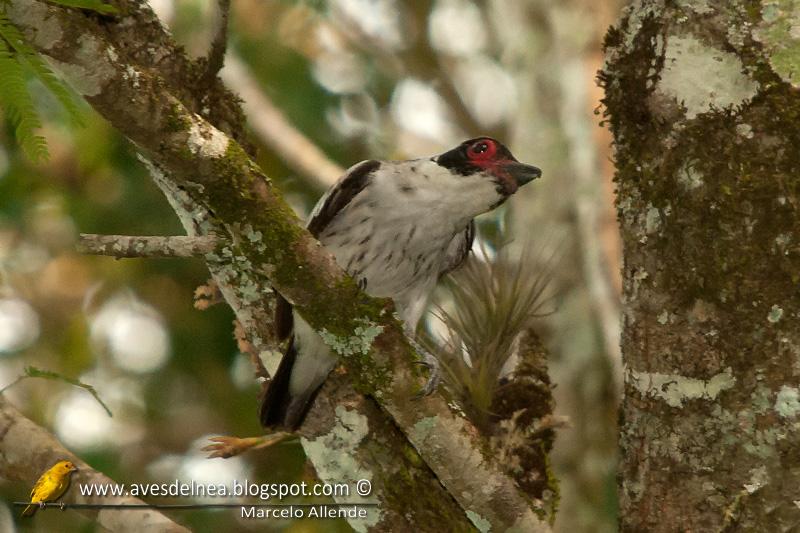 Tueré grande (Black-tailed Tityra)