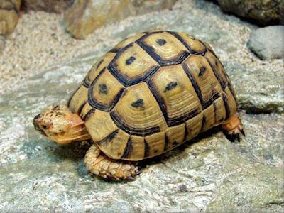 Bài thuốc Đông y chữa bệnh thận từ rùa