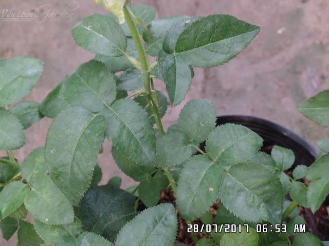 Hồng Miranda rose thường có lá chét 5, lá bầu tròn, rìa lá răng cưa hơi to, lá nhám