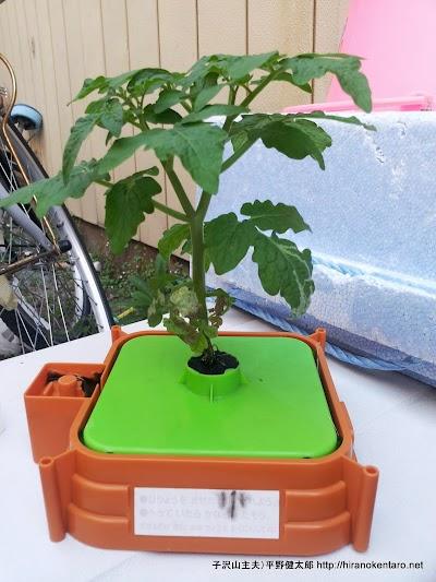 チャレンジ2年生トマト成長記録