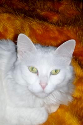 Turkish Angora cat living in Turkey