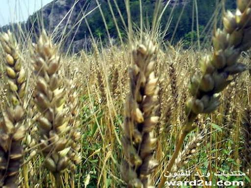 قش القمح فنون وابداع من الصين