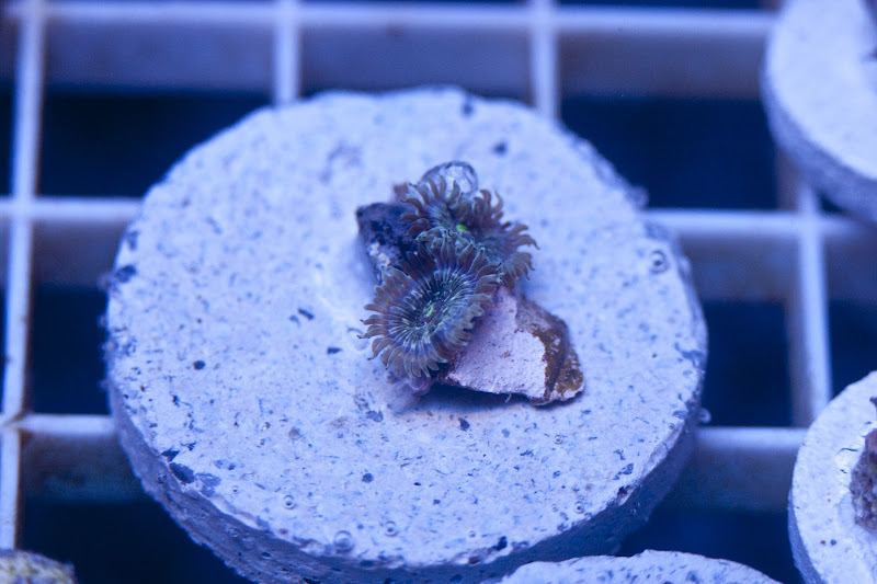CRW 3930 - SPS and Zoa frag packs