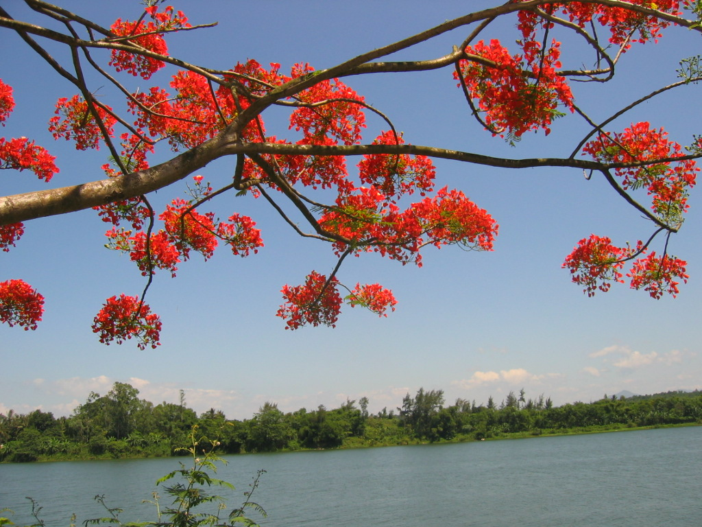Ảnh hoa Phượng bên sông