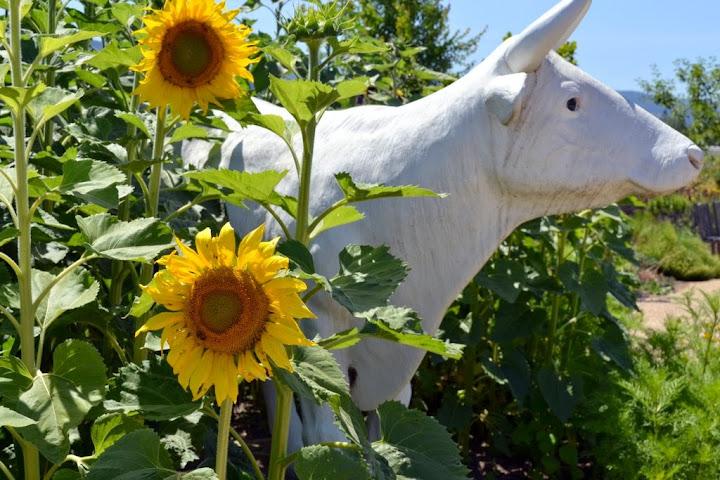 Sunflowers at Raymond Vineyards