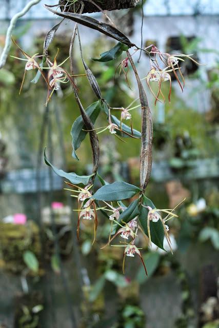 Dendrobium tetragonum IMG_0506