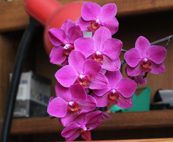 продам орхидеи и не только IMG_2775
