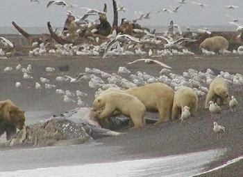 Urso pardo vs Urso polar - Página 2 1