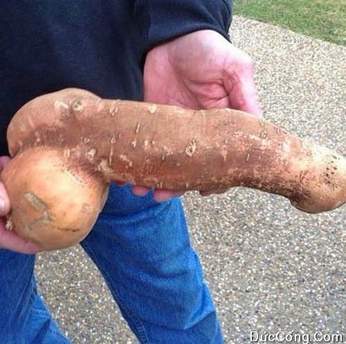Hình củ khoai giống con cặc