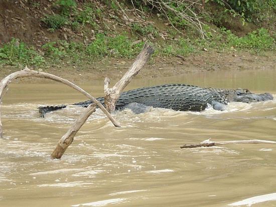 Questões e Fatos sobre Crocodilianos gigantes: Transferência de debate da comunidade Conflitos Selvagens.  - Página 3 1.1288947813.massive-black-caiman