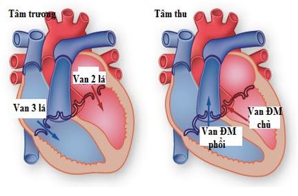 Hoạt động của van tim
