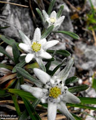 bucheţel de flori de colţ