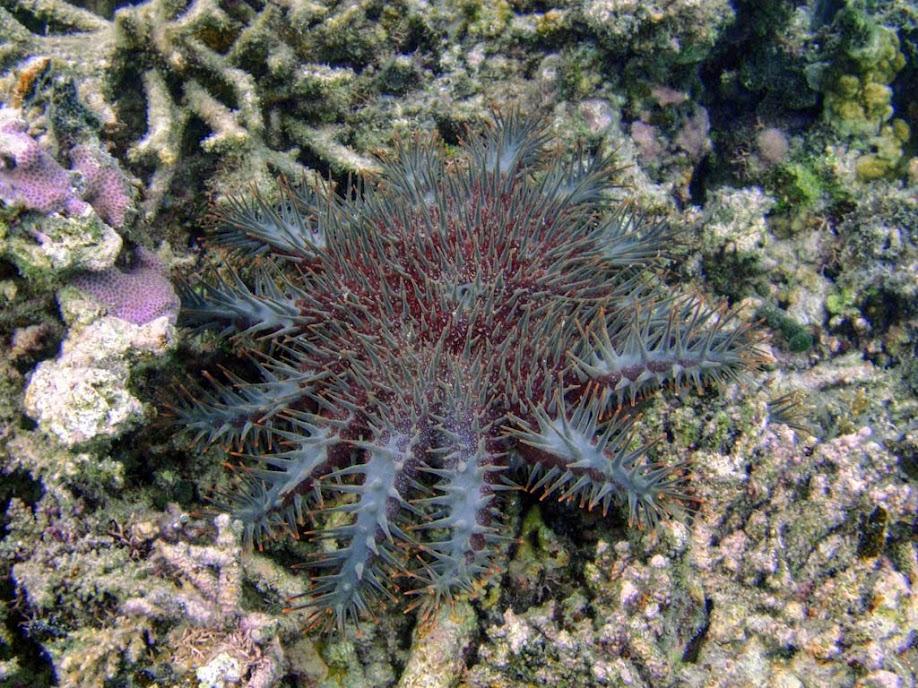 Acanthaster planci (Crown-of-thorns Starfish), Naigani Island, Fiji.
