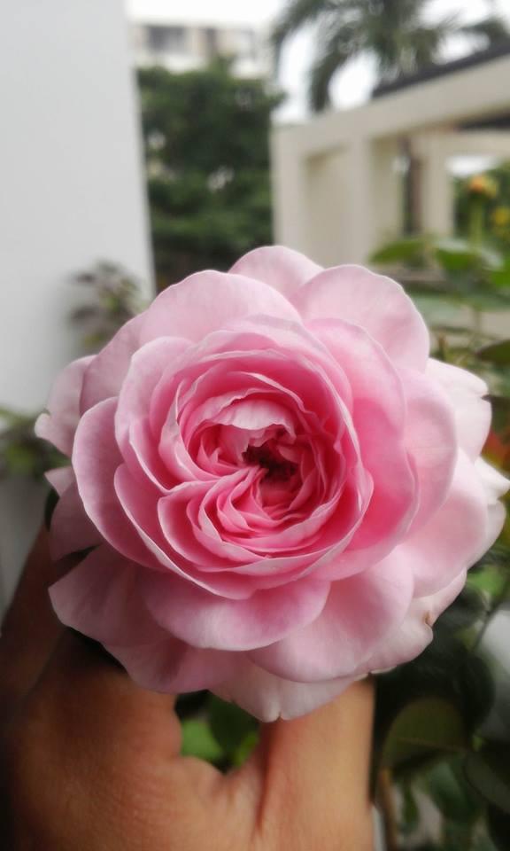 Form hoa hồng Mon Coeur có hình tim của chị Vũ Thị Hương Giang