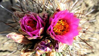Hedgehog Cactus (Echinocereus fendleri)