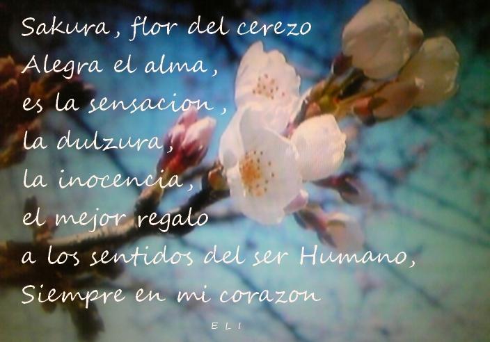 SAKURA- Los cerezos en flor-HAIKU 17marzeli