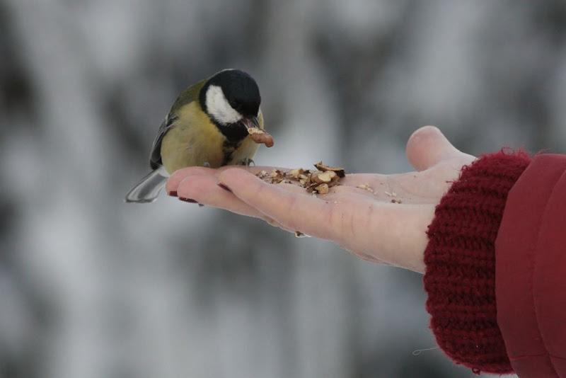 Parus major iarna zapada Herastrau pasari