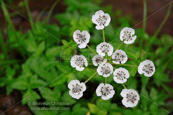 Bright White Pinda Concanensis (Panda) Flowers