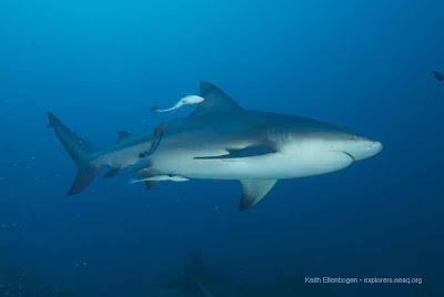 Uno squalo delle Fiji