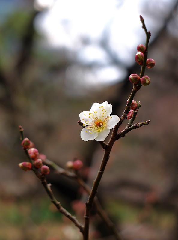 luumun kukka