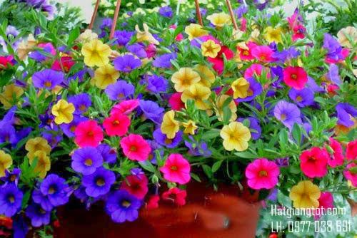 hạt hoa dạ yến thảo nhiều màu