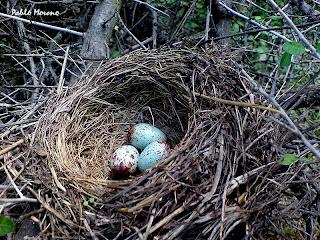 nido de zorzal chiguanco