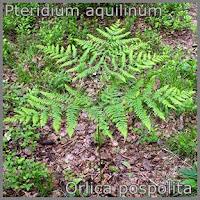 Pteridium aquilinum - Orlica pospolita