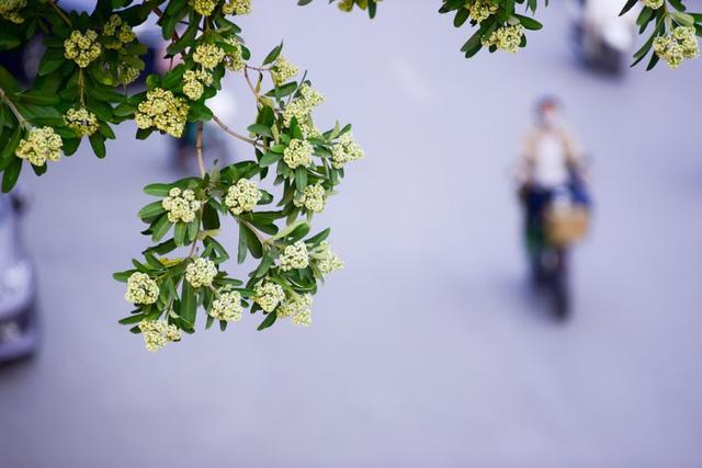 nhành hoa sữa trên phố