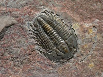 Fosil Trilobite