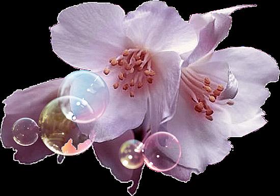 flores de pessego