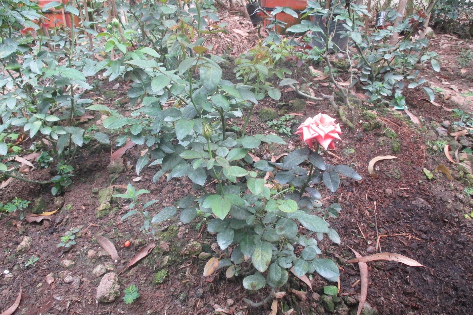 Các cây hoa hồng cần được trồng nơi có đất tơi xốp thoát nước tốt.