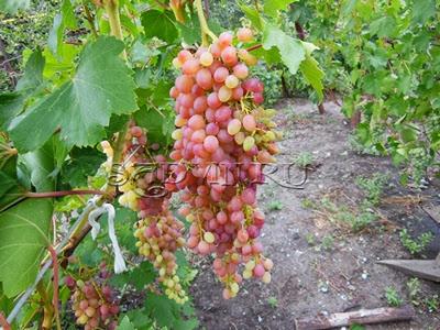Работы на винограднике в Сентябре — Октябре