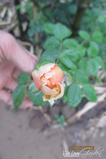 Nụ hoa hồng leo Hoàng Linh có màu vàng cam