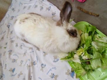 [adoptée] Sunny, lapin bélier courageux Sunny1-24eb3