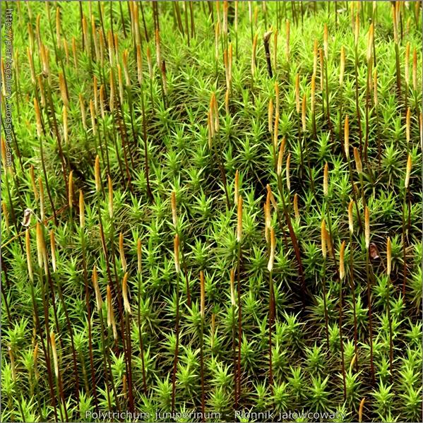 Polytrichum juniperinum - Płonnik jałowcowaty