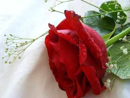 ảnh hoa hồng nhung đẹp