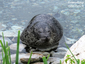 foca in Canada